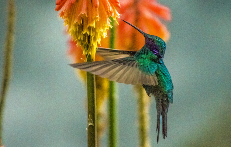 A hummingbird feeding off a colorful flower