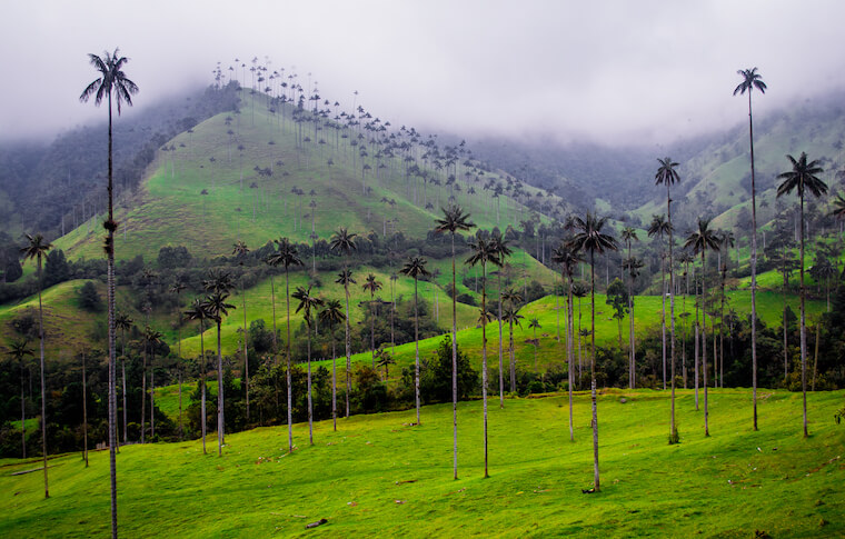 Palm tree landscape Colombia