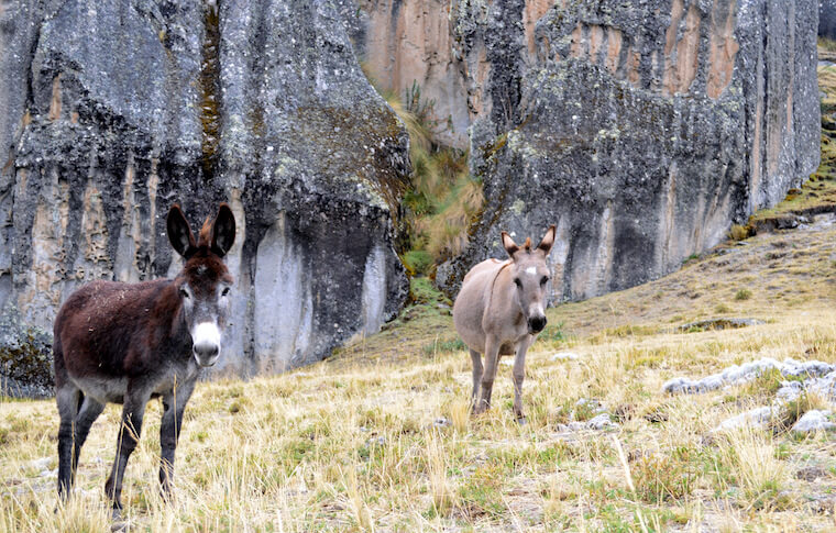 Two Peruvian mules in front of a cliff